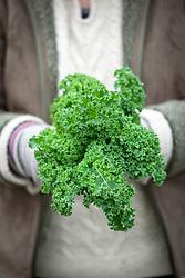 Harvesting curly kale - Brassica oleracea