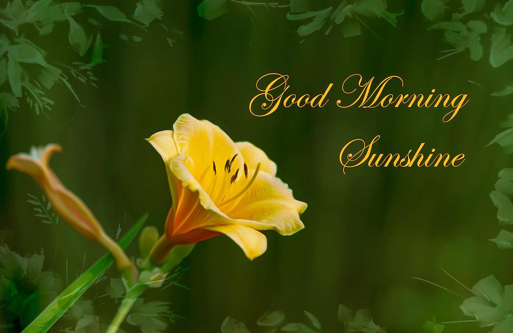 A Daylily Greeting to Good Morning Sunshine