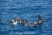 masked booby and brown boobies taking flight from the sea surface after feeding, offshore from southern Costa Rica, Central America ( Eastern Pacific Ocean )
