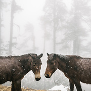 Horses and people in the foggy conditions in the lower pine forest. On the trek going from Laya village to the beginning of the drivable road.