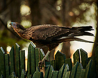 Southern Caracara. Image taken with a Nikon N1V3 camera and 70-300 mm VR lens (ISO 1600, 300 mm, f/5.6, 1/160 sec).