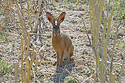 Brown wild hare sitting between the stalks of a freshly cut rapeseed field