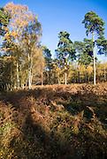 Autumn colours heathland vegetation Sutton Heath, Suffolk, England - Suffolk Coasts and Heath area of outstanding natural beauty