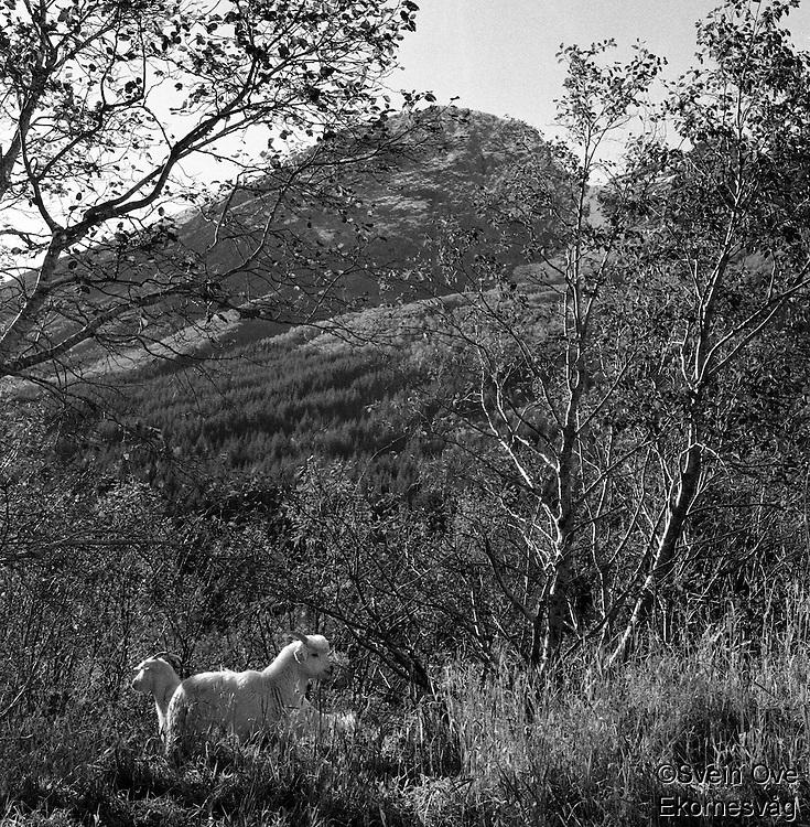 Geiter.<br /> Foto: Svein Ove Ekornesvåg