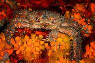 decorator crab in Bonaire