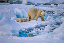A young cub nipping at mom's heels playfully on the frozen sea ice of the Svalbard Archipelago under the midnight sun. This adorable moment was fleeting, photographed on a brief rest the pair took as they roamed the sapphire landscape in search of food. As heat index continues to rise the summer season in the Arctic has become elongated, making it debatably the hardest season for bears who depend upon sea ice for ambush hunting. Polar Bears are the icon of the Arctic, but are exceptionally vulnerable to the effects climate change is taking on our planet.<br /> <br /> BIO: Keith Ladzinski is a contributing photographer at National Geographic and an Emmy nominated director. His early subjects mirrored his polarized passions, skateboarding in the city and exploring the quiet mountains of Colorado. One, built around an immersed subculture, skating from concrete place to place with friends, trespassing, shooting photos in the dead of night with rushed artificial light setups and running from security guards. The other, alpine starts in the mountains, long approaches alone while patiently hunting for natural light, thoughtful composition and searching for wildlife. It was an unintentional education in two styles of photography and wasn't long before the two merged, initially into his love for rock climbing. It was here that Keith forged his roots, rising quickly to the top in the world of extreme sports and working tirelessly with the industry's top athletes, clients and ad agencies.<br /> <br /> Keith lives in Boulder, Colorado with his Wife Dana and son Gray.<br /> <br /> WEBSITE: ladzinski.com<br /> INSTAGRAM: @ladzinski