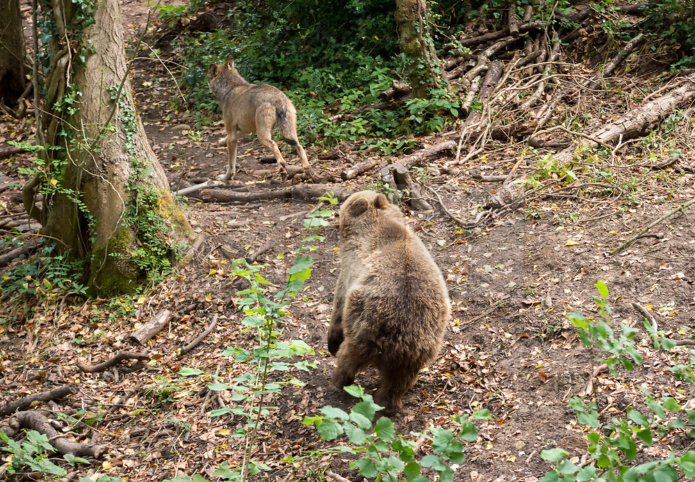 © Licensed to London News Pictures; 17/06/2020; Bristol, UK. **Embargoed until 00.01am Thursday June 18, 2020**. Wild Place Project. Picture shows a bear chasing a wolf. European brown bears and grey wolves have begun living side by side together for the first time in a UK Zoo as it prepares to re-open tomorrow (Friday June 19) after coronavirus lockdown. The four bears and the five wolves were given access to the same woodland exhibit at Wild Place Project recently. After some initial curiosity and playful chasing, the two species were soon quietly sharing the same space beneath the trees of Bear Wood as they would have done in this country thousands of years ago. Wild Place Project is preparing to reopen after an 13-week closure due to the COVID-19 pandemic. Photo credit: Simon Chapman/LNP.