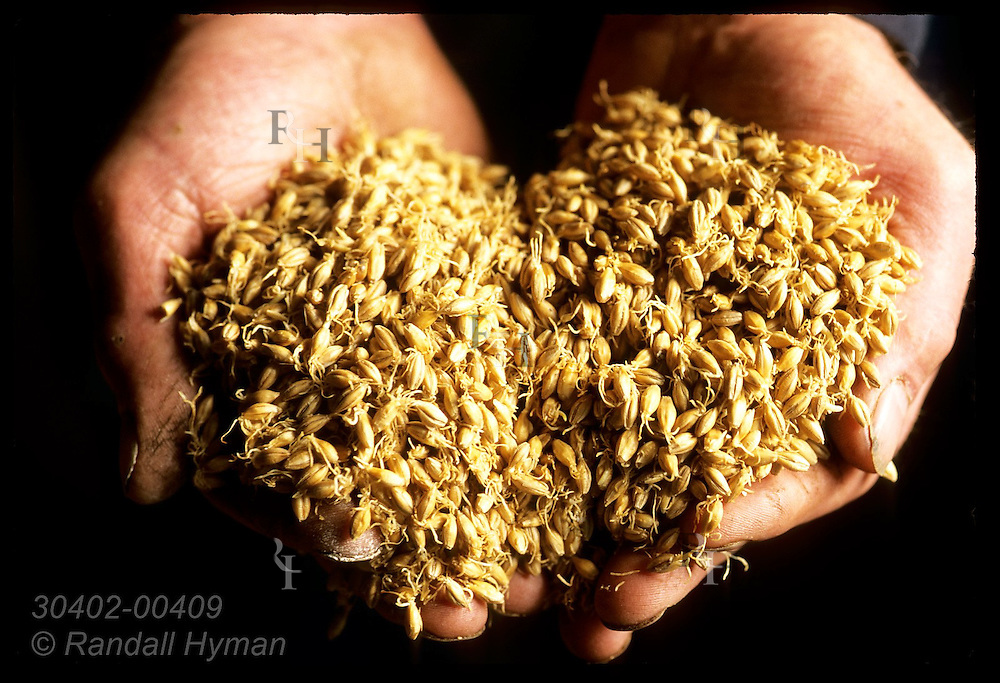 Germinating barley fills worker's hands at the Highland Park Distillery; Kirkwall, Orkney Is. Scotland
