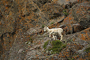Dall sheep exe on cliff stepping