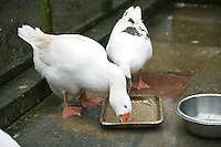 domestic farm goose eating seed in a bird sanctuary