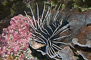 Clearfin Lionfish, Pterois radiata, from the Red Sea.