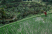 A man cultives his terrace rice fields near Ubud at Penatahan in Bali, Indonesia.