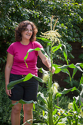Shaking flowers of sweetcorn to ensure female cob is pollinated