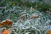 Frost covered grass in an Irish garden
