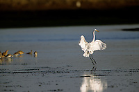 A Great Egret (Ardea alba) landing in the waters of Moss Landing, CA.