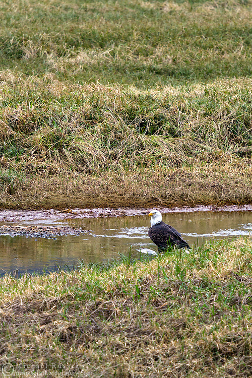 An adult Bald Eagle (Haliaeetus leucocephalus) feeds on spawning salmon at the Harrison River, Harrison Mills, British Columbia, Canada