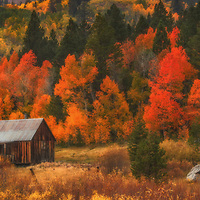 Old cabin surrounded by aspen trees with autumn color, Hope Valley, California.