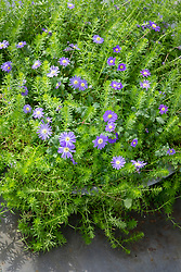Anemone blanda 'Blue' with phuopsis in a container.