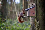 A Red Squirrel collecting nuts from a feeding station attached to the side of a tree on the edge of the Presaddfed Estate, the home of Anglesey Shooting School, on the 22nd of February 2020,  Bodedern, Anglesey. Wales.  Anglesey is a haven for the native Red Squirrel, Anglesey is an island and has become a conservation area for the re-introduction of red squirrels, any grey squirrel found on the island is caught and removed.  (photo by Andrew Aitchison)