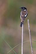 Common stonechat (Saxicola torquatus, male) from Kaziranga NP, Assam, India.