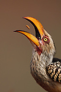 Southern Yellow-billed Hornbill, Tockus leucomelas, eating fly larvae at a carrion site, Zimanga Private Nature Reserve, KwaZulu Natal, South Africa