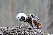 Cotton-top tamarin (Saguinus oedipus). One of the smallest primates, the cotton-top tamarin is easily recognized by the long, white sagittal crest extending from its forehead to its shoulders.
