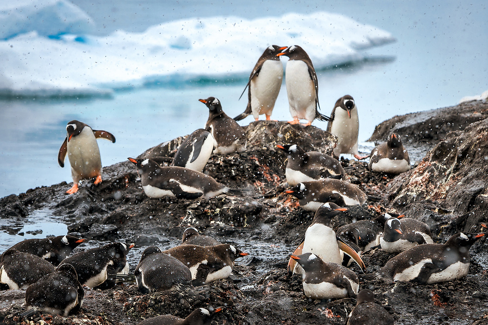 Gentoo Penguin Colony at Argentinian Brown Station in Antarctica.