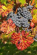 Petit Verdot grape bunches and vines - colourful leaves - Château Pey la Tour, previously Clos de la Tour or de Latour, Bordeaux, France
