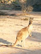 A Western Grey Kangaroo in the Gawler Ranges National Park, South Australia, Australia