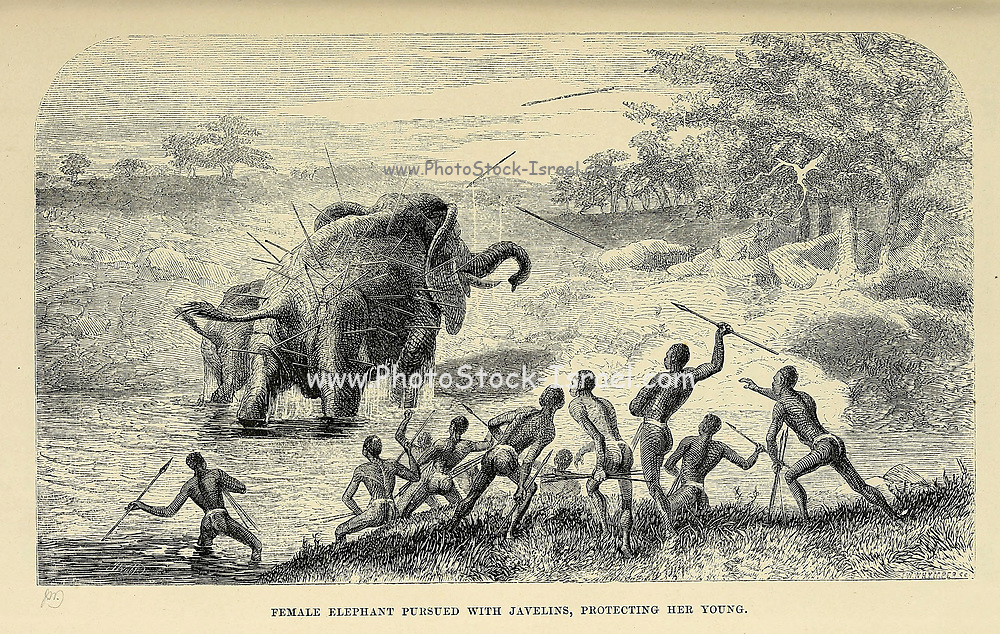 Female Elephant pursued with Javelins, protecting her Young From book ' Missionary travels and researches in South Africa : including a sketch of sixteen years' residence in the interior of Africa, and a journey from the Cape of Good Hope to Loanda, on the west coast, thence across the continent, down the river Zambesi, to the eastern ocean ' by David Livingstone Published in London in 1857