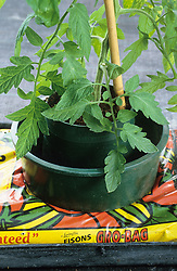 Tomato pots in a grow bag