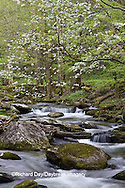 66745-04006 Dogwood trees in spring along Middle Prong Little River, Tremont area, Great Smoky Mountains National Park,TN