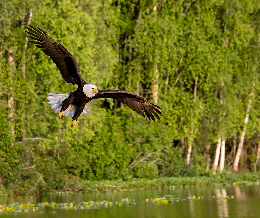 Alaska. Bald Eagle (Haliaeetus leucocephalus) swooping down to pull a fish from a southcentral Alaska lake during summer.