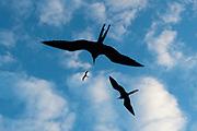 Great frigate birds, Fregata minor ridgwayi, flying against a blue sky.