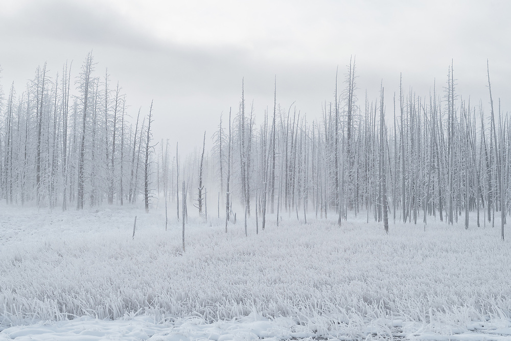 Ghost trees stand coated in front on a cold winter morning in Yellowstone