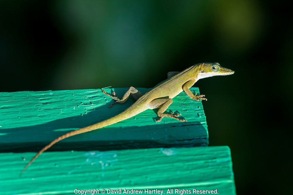 Gecko on the viewing platform, Galf Moon Caye, Belize