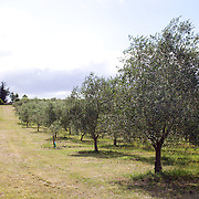 Olive groves at Moutere Grove Olives, Upper Moutere, New Zealand, 1st February 2011. Photo Tim Clayton