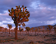 67CADJT_113 - USA, California, Joshua Tree National Park, Sunset light on forest of Joshua Trees near Hidden Valley. (5251 x 4200 px)