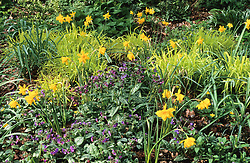 Narcissus × odorus 'Plenus' syn. 'Flore Pleno, syn. Narcissus rugulosus amongst pulmonaria and Milium effusum in the woodland garden at Beth Chatto's. Double Sweet-scented jonquil and Bowles's golden grass