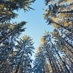 Winter in a spruce forest at the Notchview Reservation in the Berkshires.  Windsor, Massachusetts. The Trustees of Reservations.