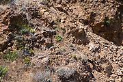 An Island Fox stops for a rest on Santa Cruz Island, Channel Islands National Park, California, USA.