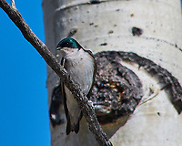 Early springtime Tree Swallow at Lily lake in Rocky Mountain National Park. Image taken with a Nikon D300 camera and 80-400 mm VR lens (ISO 200, 400 mm, f/8, 1/800 sec).