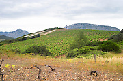 Vineyard. Died from the court noue fanleaf degeneration virus disease. Mas Amiel, Maury, Roussillon, France