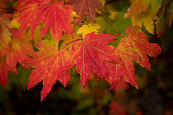 United States, Washington, Bellevue, fall leaves on tree
