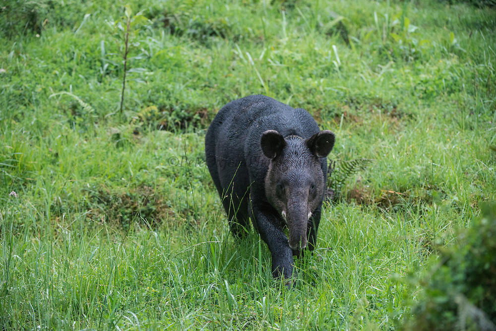 Mountain or Woolly Tapir (Tapirus pinchaque)<br /> Cayambe Coca Ecological Reserve<br /> Andes<br /> ECUADOR, South America<br /> Range: Ecuador, Colombia, Peru<br /> ENDANGERED<br /> Caught by researchers