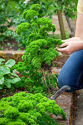 Pulling up parsley that has started to bolt. Petroselinum crispum
