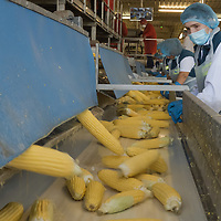 Corn canning process is seen at the Bonduelle factory in Bekescsaba, Hungary on Sept. 21, 2020. ATTILA VOLGYI