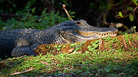 """""""Moma"""" Alligator in the late afternoon sun outside Clyde Butcher's Gallery. Winter Nature in Florida Image taken with a Fuji X-T2 camera and 100-400 mm OIS telephoto zoom lens."""