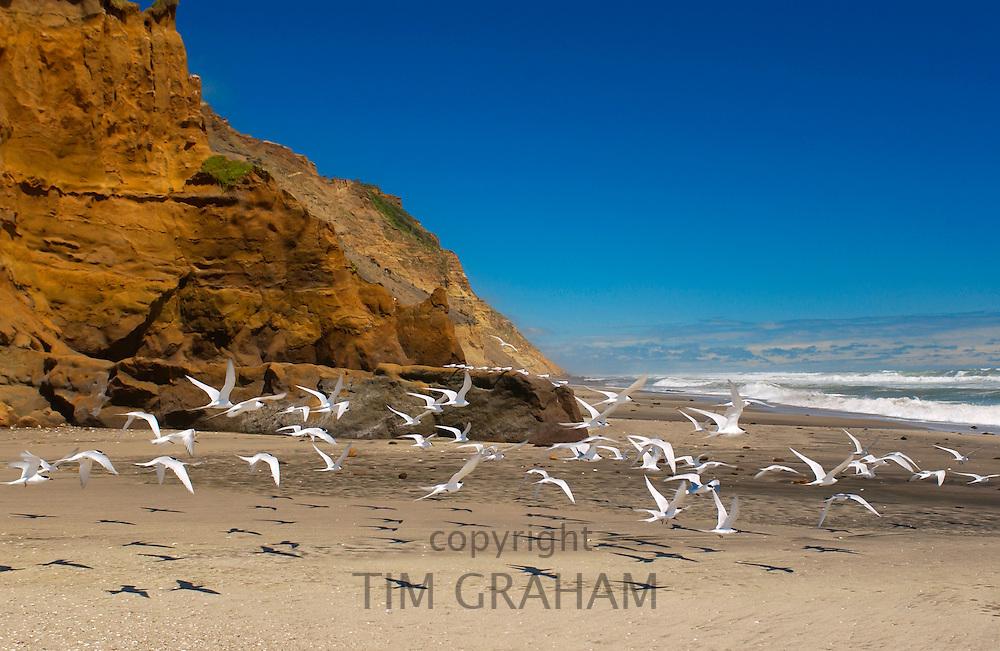 White-fronted terns (Sterna Striata) on a beach near South Head on the Tasman Sea,  North Island, New Zealand