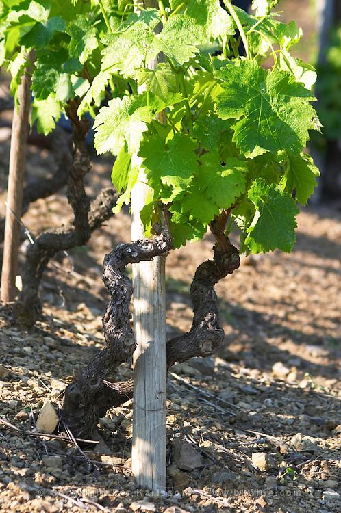 syrah gobelet training vineyard cote rotie domaine g bonnefond ampuis rhone france